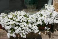 I fiori bianchi ~ white flowers