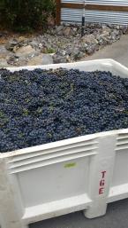 Healdsburg Thomas George grapes